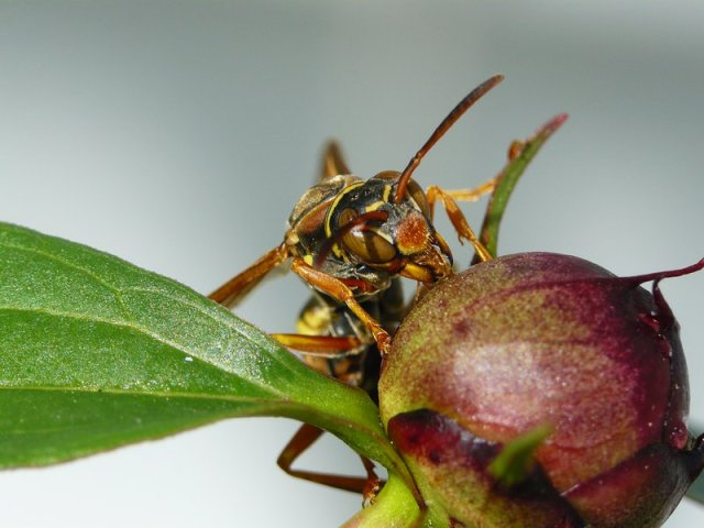 wasp eating