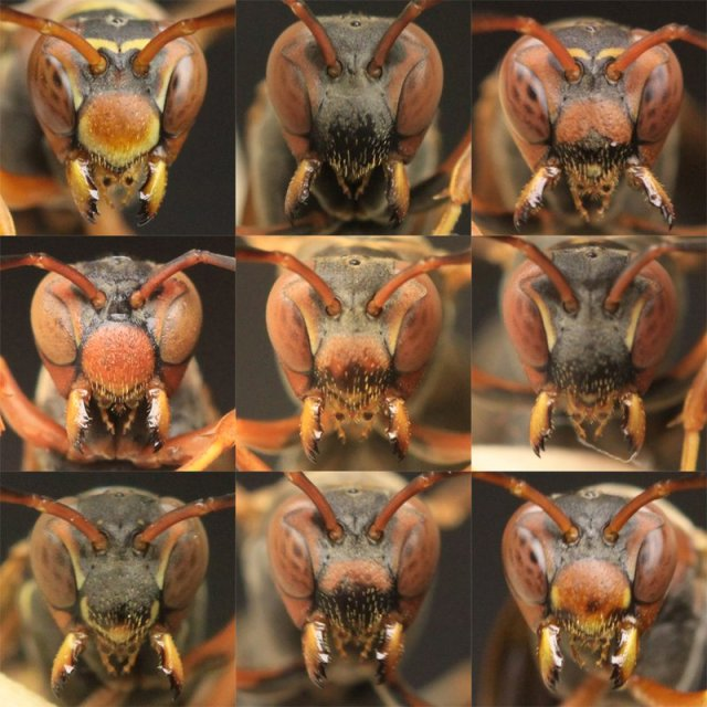 wasps see faces